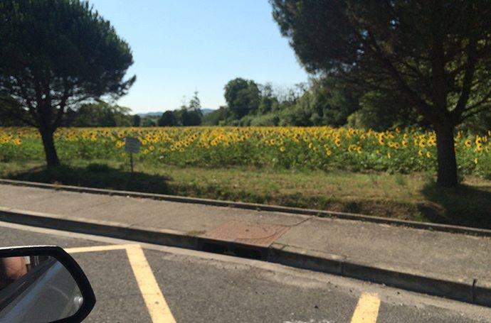 Zonnebloemenveld tijdens de autoreis